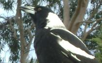Photo of a magpie