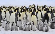 A flock of emperor penguins