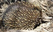An echidna or spiny anteater
