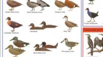 An image of a wetland birds identification chart